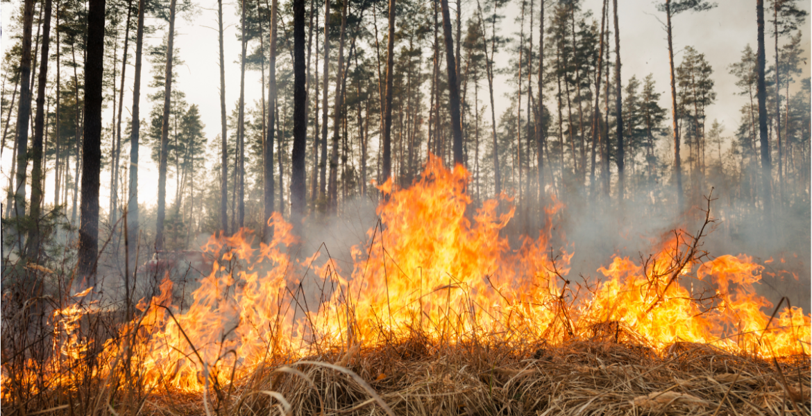 Wildfire burning dry grass and pine trees.